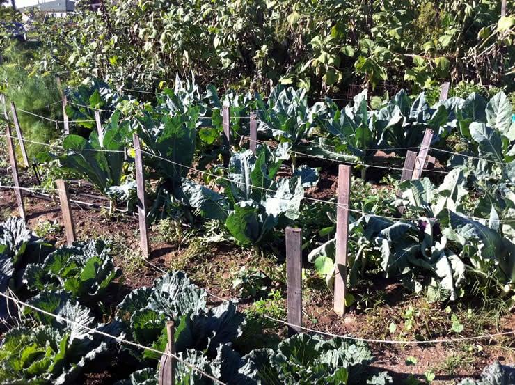 Lots o' Lettuce Growing