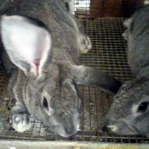 rabbit-thumbnail