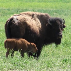 Bison in the grass, before the well failed.