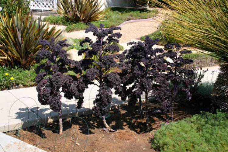 grow-kale-in-your-front-yard-1_mini