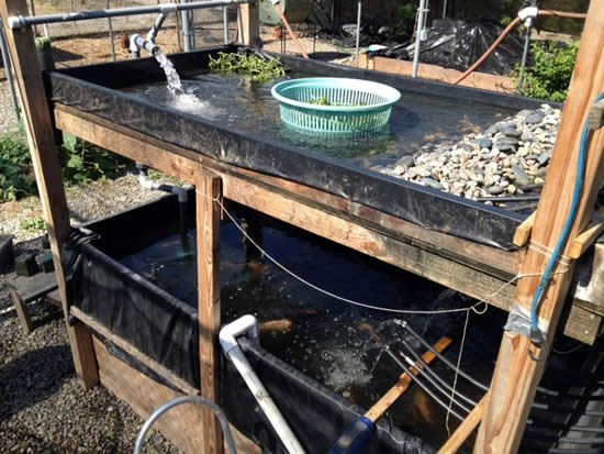 Talapia and Watercress Farming
