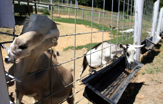 A very curious goat