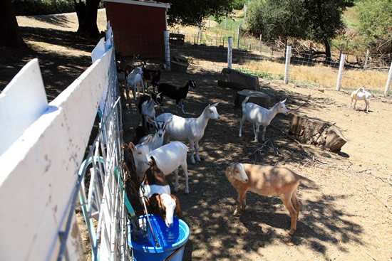 The goats have a lot of space