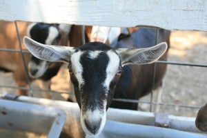 June, one of Redwood Hill Farm's Goats