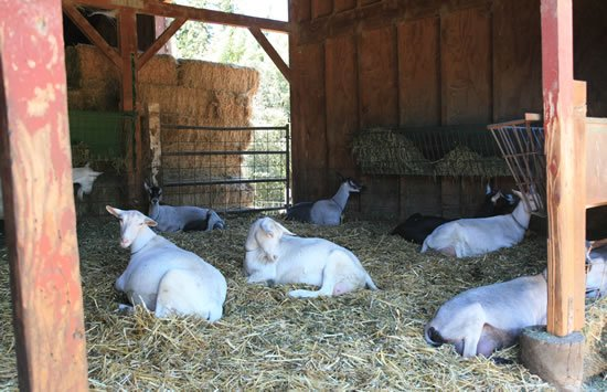 Lounging Goats