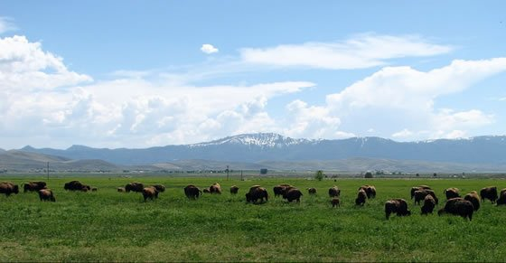 Lindner Bison on Spring Grass, before the well failed
