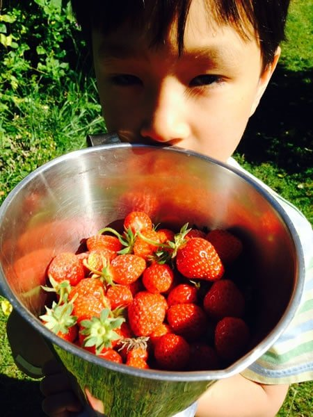 Picking strawberries for desesrt
