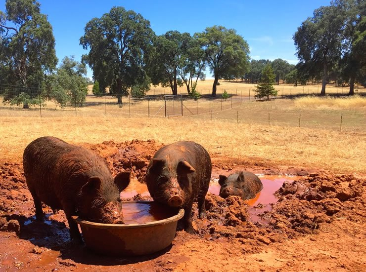 Heritage Hogs Wallowing in the Mud