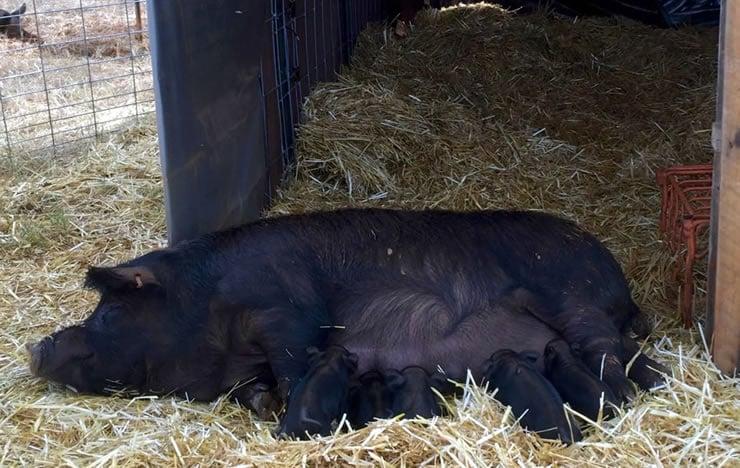 Suckling Pastured Pigs