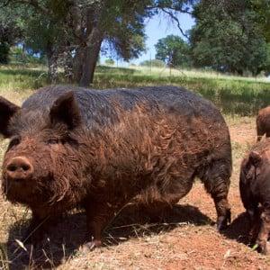 the-pastured-pig-1