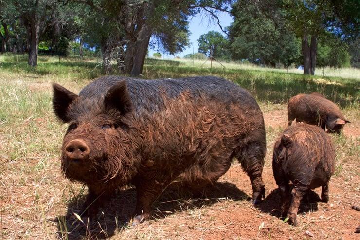 Blue Oaks Farm Heritage Hogs