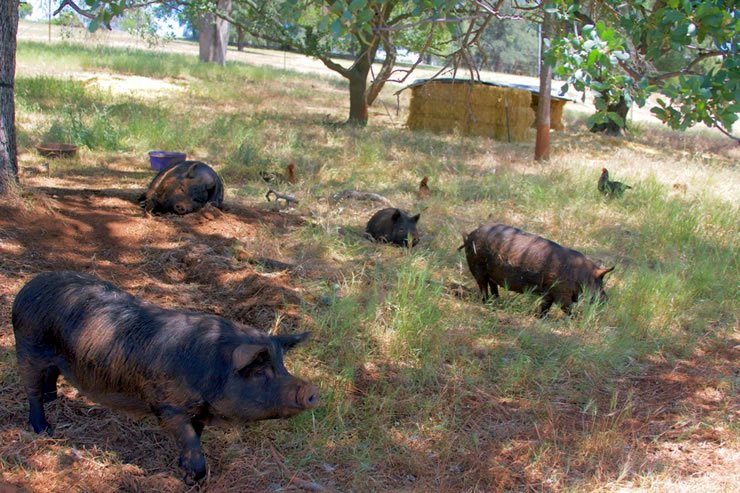 Blue Oaks Farm - Pastured Heritage Hogs