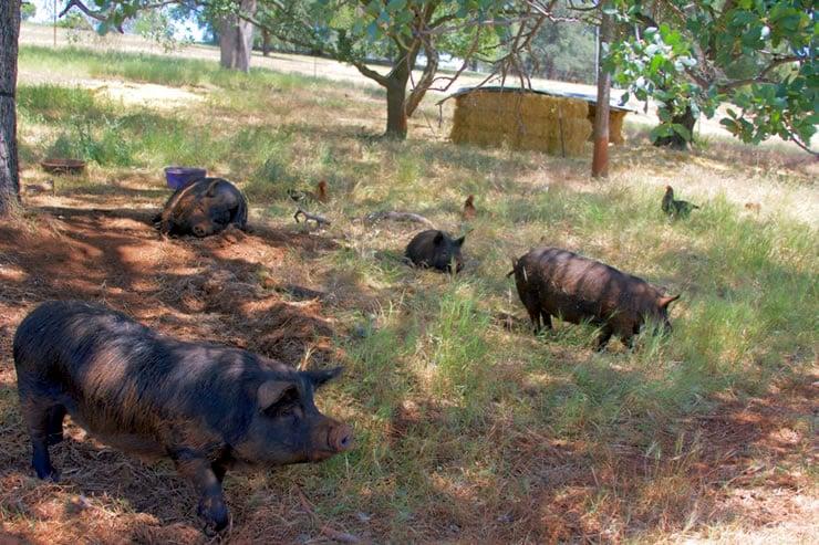 Blue Oaks Farm - Pastured Heritage Hogs
