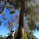 Molly enjoying a squirrel in a eucalyptus