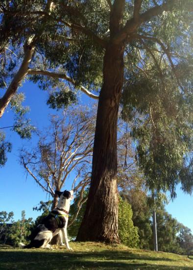 Molly enjoying a squirrel in a eucalyptus