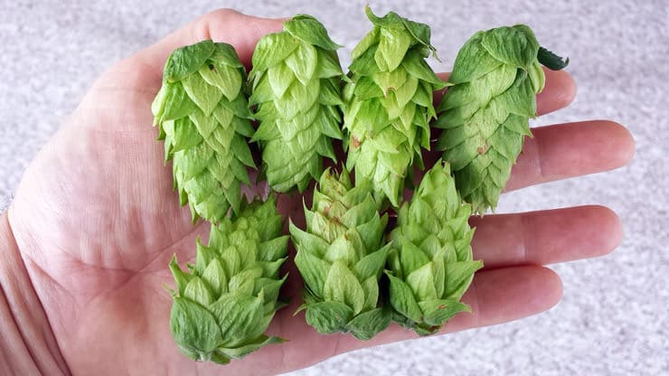 hops for making beer
