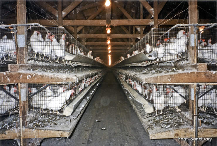 Chickens in battery cages