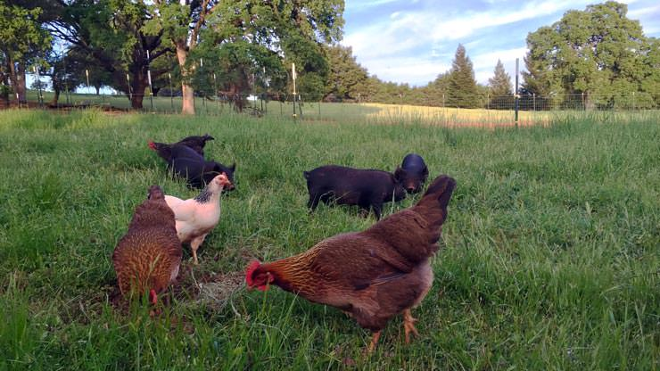 Happy Chickens on Pasture