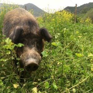 pastured pig